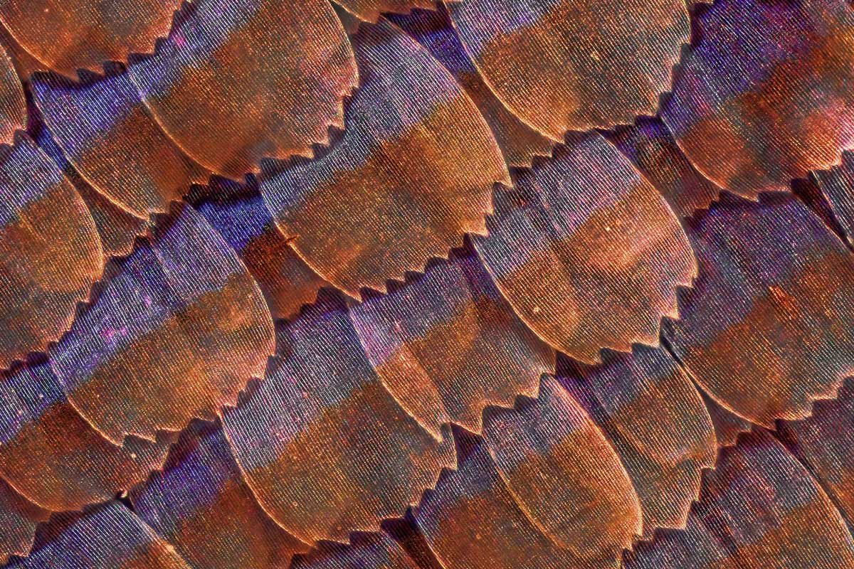 Microscaglie di Ala di Farfalla - Microscopio Ottico