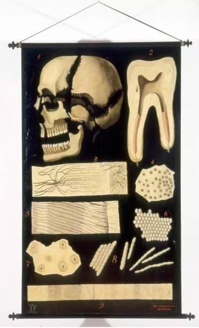 EGISTO TORTORI - ANATOMIA COMPARATA - SISTEMA TEGUMENTARIO (morfologia del dente)