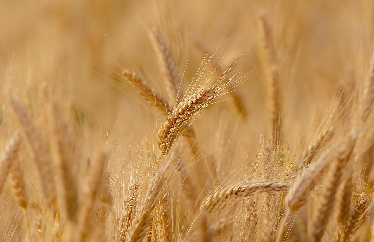 Storia di un cereale